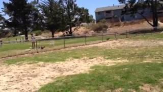 Shiba Inu, Beagle Mix And Husky Running Together