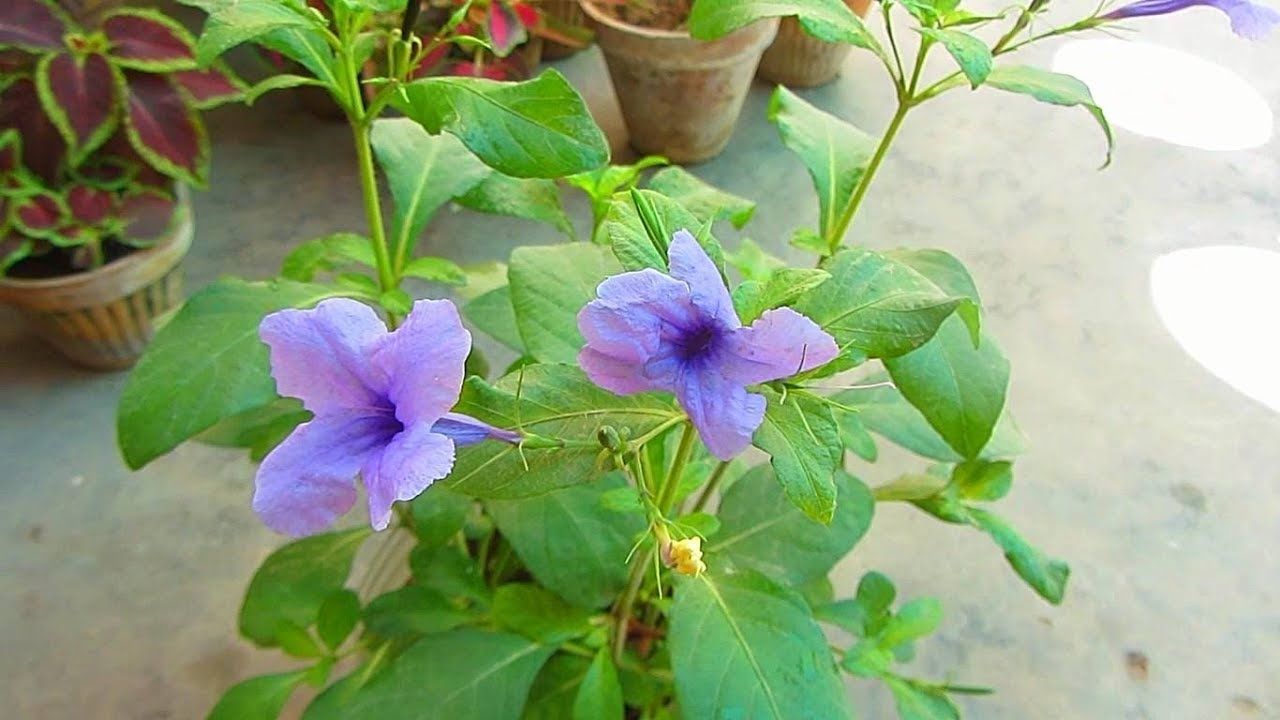 Summer Flowering Plant Wild Petunia Ruellia Humilis Urdu Hindi Youtube
