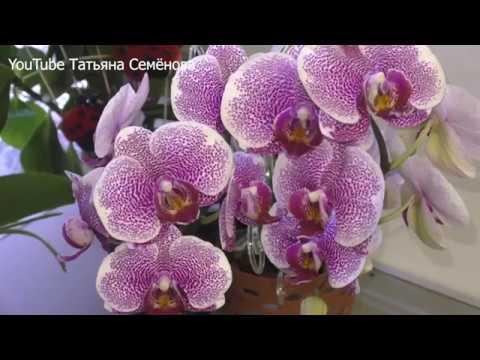 Цветение фаленопсиса в домашних условиях