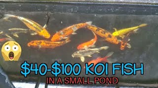 $40-$100 Koi Fish In My Small Pond (age 5 month - 1 year)