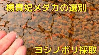 楊貴妃メダカの濃い色と薄い色の選別中です 後半はトウヨシノボリの採取...