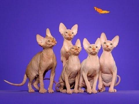 Sphynx cat - International cat show Winner Cat (FIFe) 2014. Funny Cats.