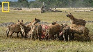 National Geographic Hyenas Hunt Buffalo BBC Documentary