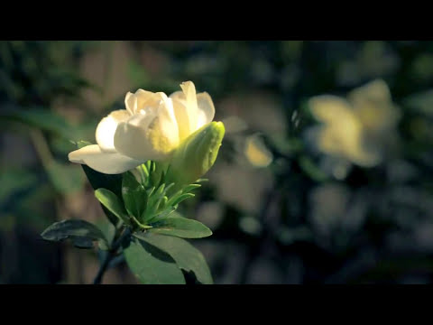 Blooming Gardenia Time Lapse - Everloving by Moby
