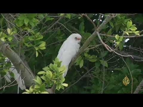 هذا الصباح--الكوكاتو-.. طيور صغيرة تثير الذعر بأستراليا  - نشر قبل 25 دقيقة