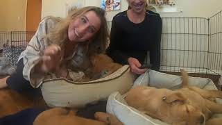 Download lagu LIVE STREAM PUPPY CAM with SPECIAL GUESTS! Gorgeous Labrador - Golden Retriever Service Dog Puppies!