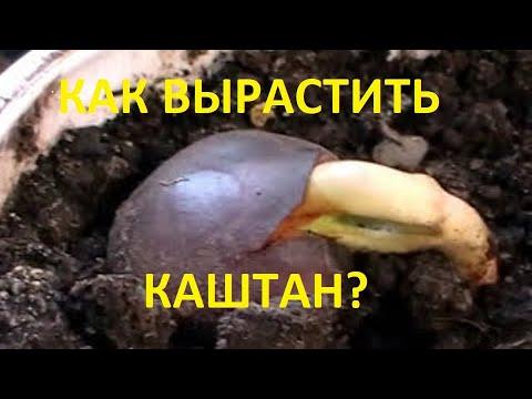 Как сажать каштан из ореха в домашних условиях фото пошагово
