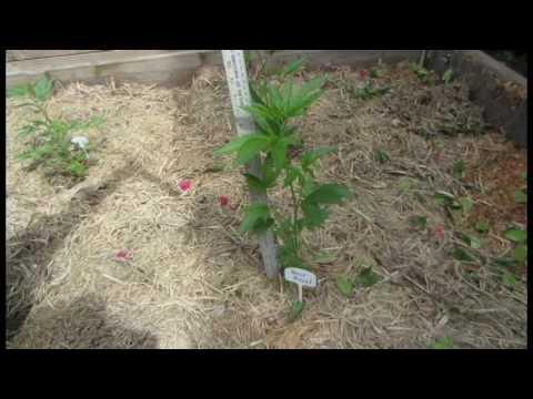 Cannabis Cultivation: Heat Makes Stems Stretch on Marijuana Plants