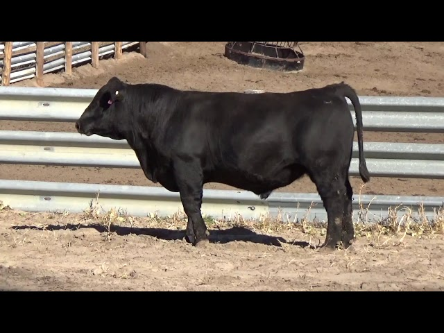 Connealy Angus Lot 62