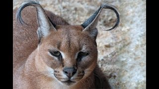 This Strange Wild Cat Is Called A Caracal… And It Might Just Be The Cutest Animal In The World