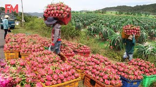 Amazing Modern Dragon Frขit Processing Factory, How To Farming Harvest Fruit & Product Process