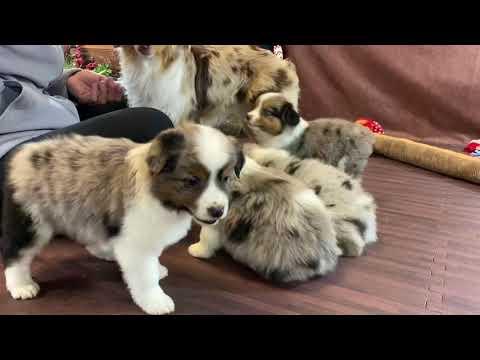8 Week Old Blue Merle Australian Shepherd Puppy| Tomboy Litter| COLOR COUNTRY AUSSIES