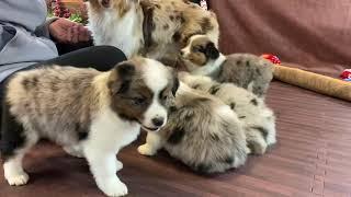 8 week old Blue Merle Australian Shepherd puppy  Tomboy Litter  COLOR COUNTRY AUSSIES YouTube Videos