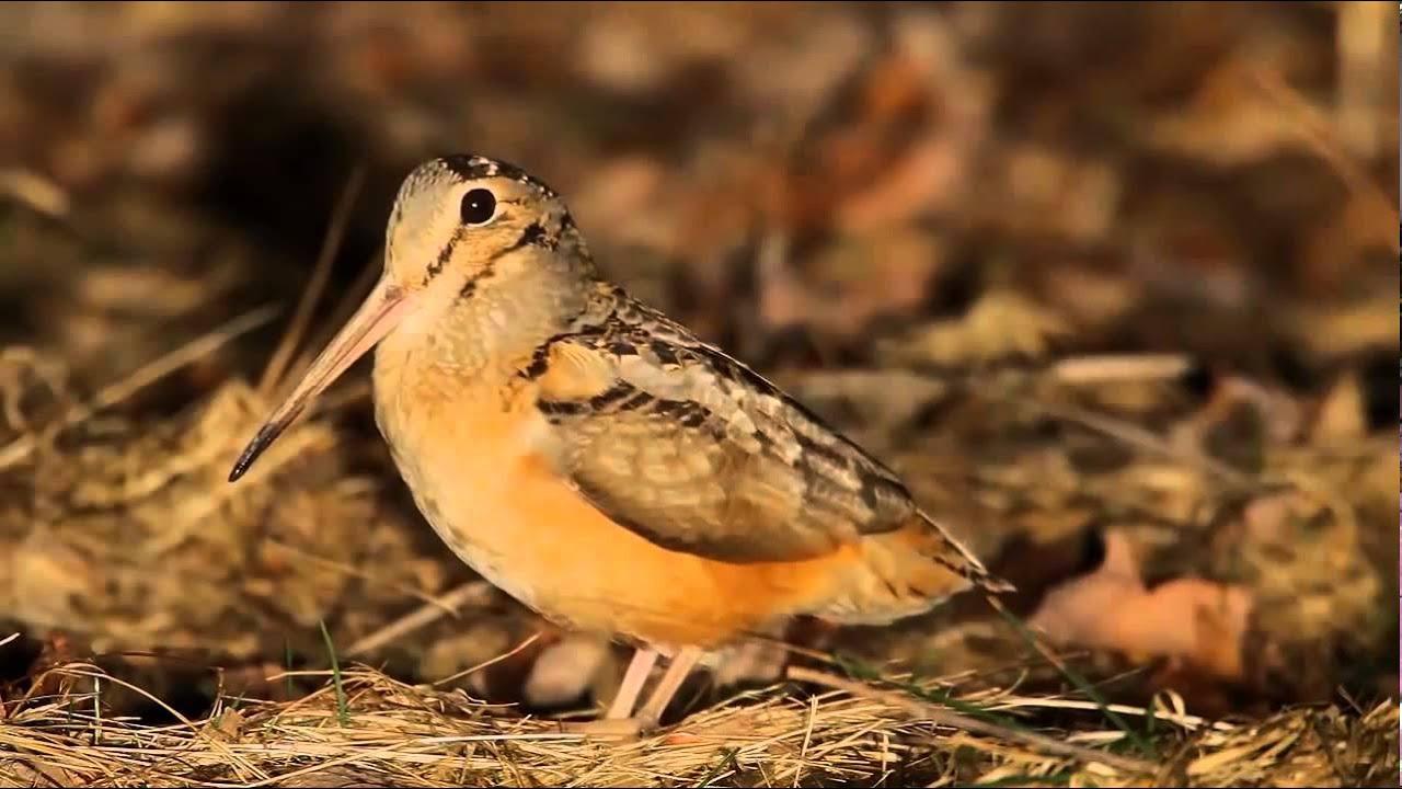 baby woodcock bird