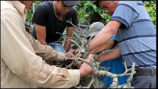 Xem chú Lê Quý chuyển thế cây mai dáng long thành mai bonsai dáng đổ ( thác đổ)