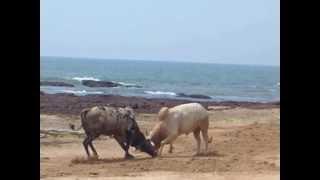 Repeat youtube video Bull fight in Goa India