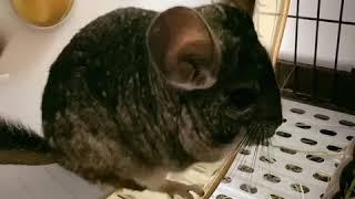 [모찌] 쳇바퀴 위 모찌 친칠라 쥐