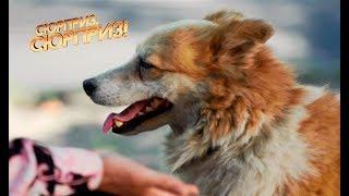 Собака-гаишник контролирует движение людей и машин на перекрестке — Сюрприз, сюрприз! от 20.10.2017