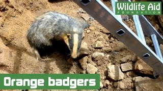 Right This Minute: A badger rescue!