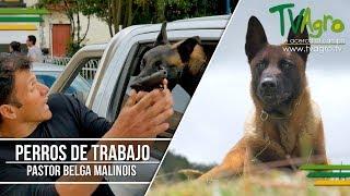 Pastor Belga Malinois The Belgian Malinois ENG SUB Tv Agro por Juan Gonzalo Angel