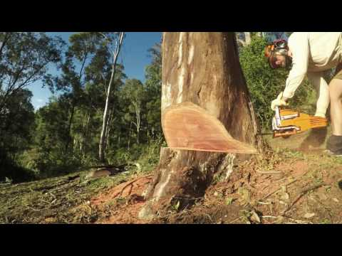 $100 Chinese Chainsaw MTM 62SX felling Australian red gum