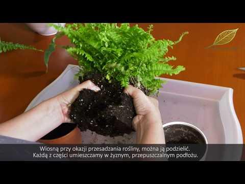 Paprocie - pielęgnacja, rozmnażanie i stanowisko - domowe rośliny doniczkowe