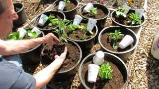 Planting Tomatoes & Peppers in a Raised Container - Raised Bed Garden - TRG 2015