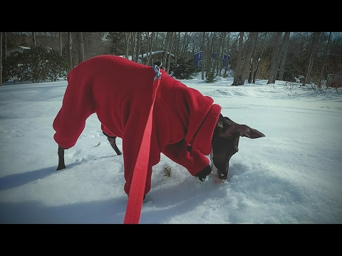 Italian Greyhound Walking on Snow Bank