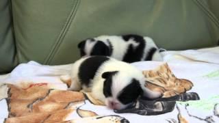 2012年7月12日生まれの狆の子犬です。 http://wanboh.net/item/japanese...