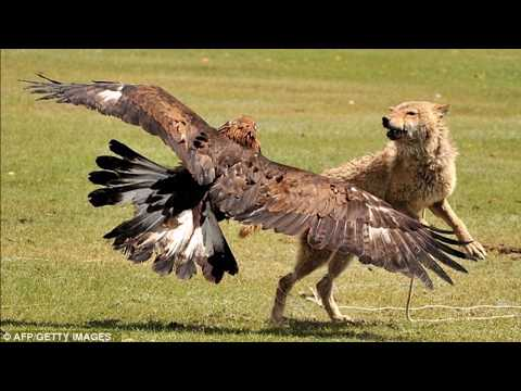 Eagle Attacks  - World&39;s Greatest Animals Commercial