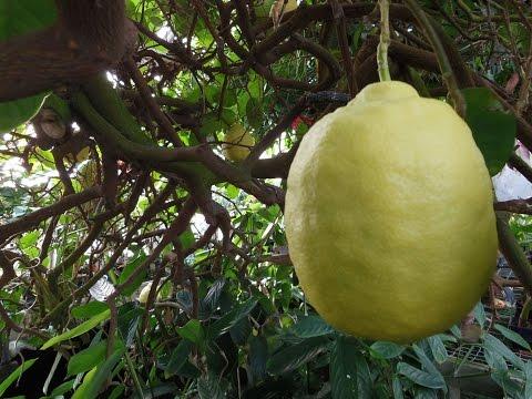 The American  Wonder Lemon  'Ponderosa'  (Citrus limon)