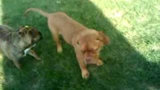 My Hogan, Dogue De Bordeaux, And Rambo, English Bulldog Playing