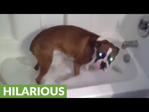 Boxer knows exactly what to do for bath time