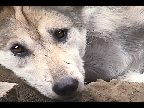 Mexican Gray Wolf Pups Pester Mom