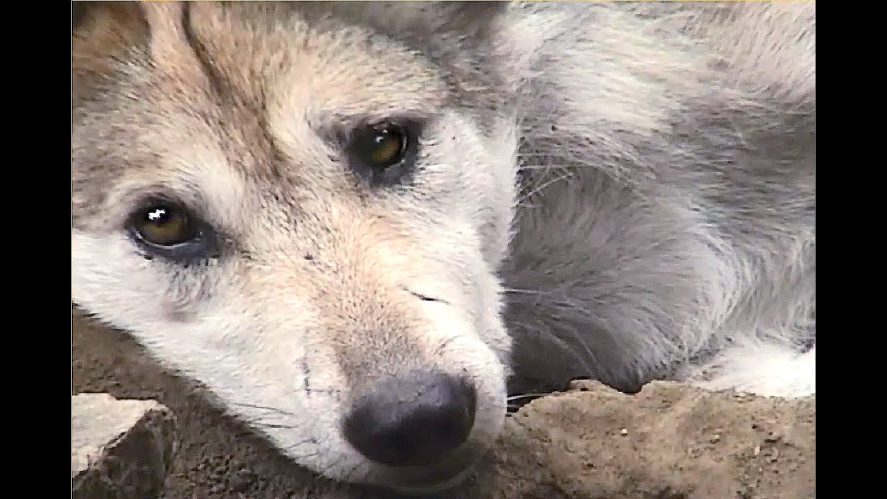 mexican gray wolf pups pester mom youtube