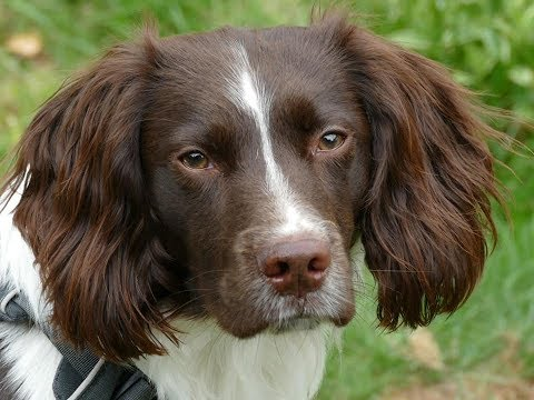 Flint - Springer Spaniel - 3 Weeks Intensive Dog Training Course