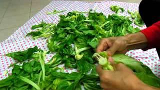 芥菜 (長年菜或掛菜)曬太陽 2.flv