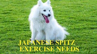 Japanese Spitz Exercise [Needs and Ideas]