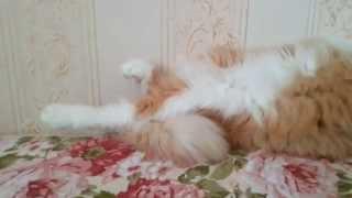 У кота дергаются лапы
