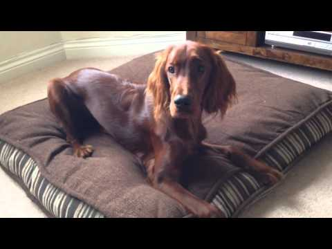 Ruby the 6 month old irish setter