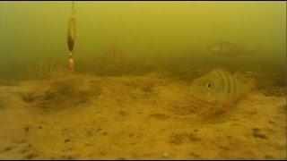 Подводная съемка окуня ловля на блесну.