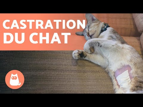 CASTRATION DU CHAT 🐱✂️ Age, Avantages Et Inconvénients