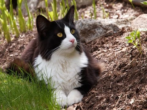 Cool and Adorable Tuxedo Cat with Its Unique Genetics   Tuxedo Cat Breed