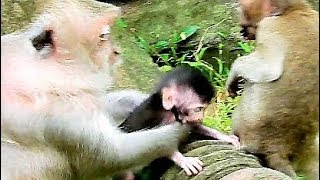 Mom Much Concern Jill Steal Her Baby,   Baby Monkey Hard Cling Mom During Walking.