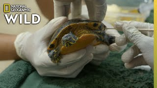 Cleaning a Dirty Turtle | Critter Fixers: Country Vets YouTube Videos