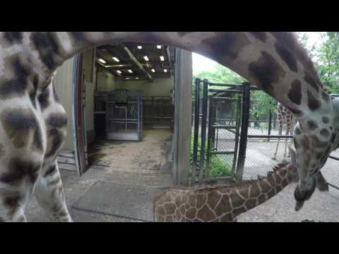 Thumbnail: Giraffe Baby Ventures Outside