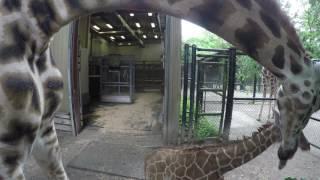 Giraffe Baby Ventures Outside