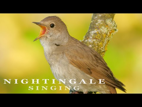 Nightingale bird singing at sunrise. The most beautiful bird song.