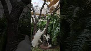 The boys, Maine coon kittens playing in catio