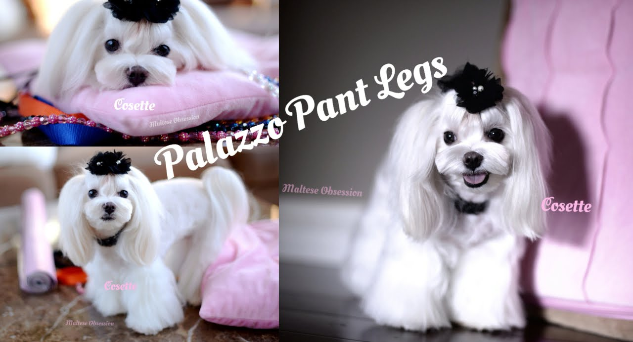 GROOMING: Trimming Flare Palazzo Pant Legs on Maltese ...